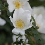 IMG_3451 άγριο τριαντάφυλλο