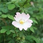 IMG_3597 άγριο τριαντάφυλλο