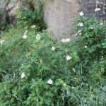 IMG_3598  άγριο τριαντάφυλλο