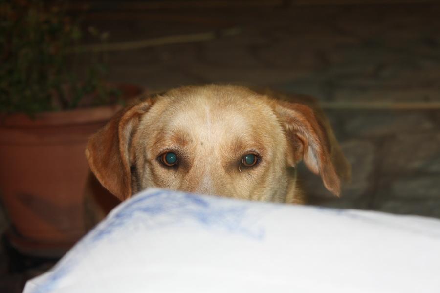 σκύλος πίσω απο το τραπέζι