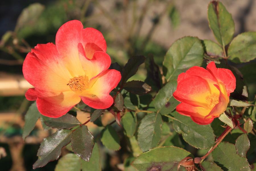 αγριο τριαντάφυλλο