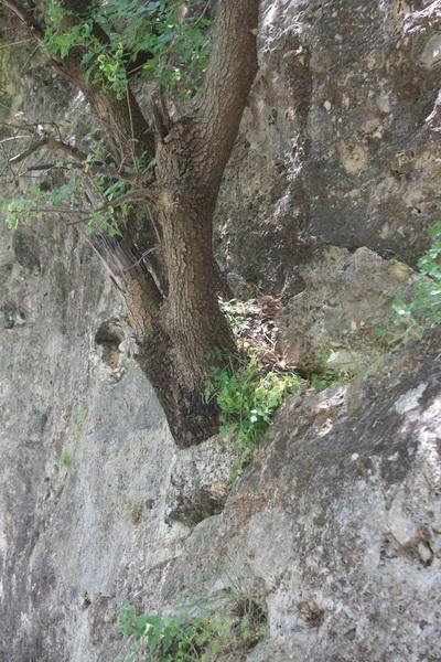Δέντρο στο βράχο