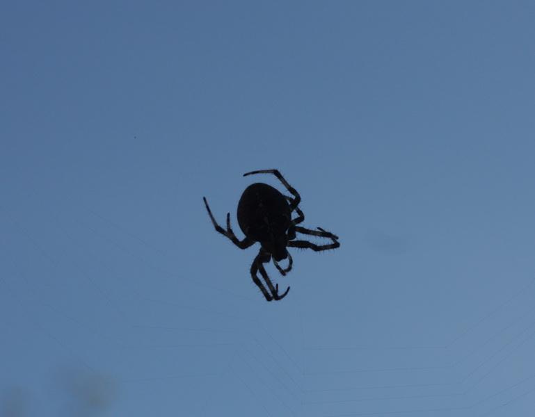IMG_8908 Αράχνη