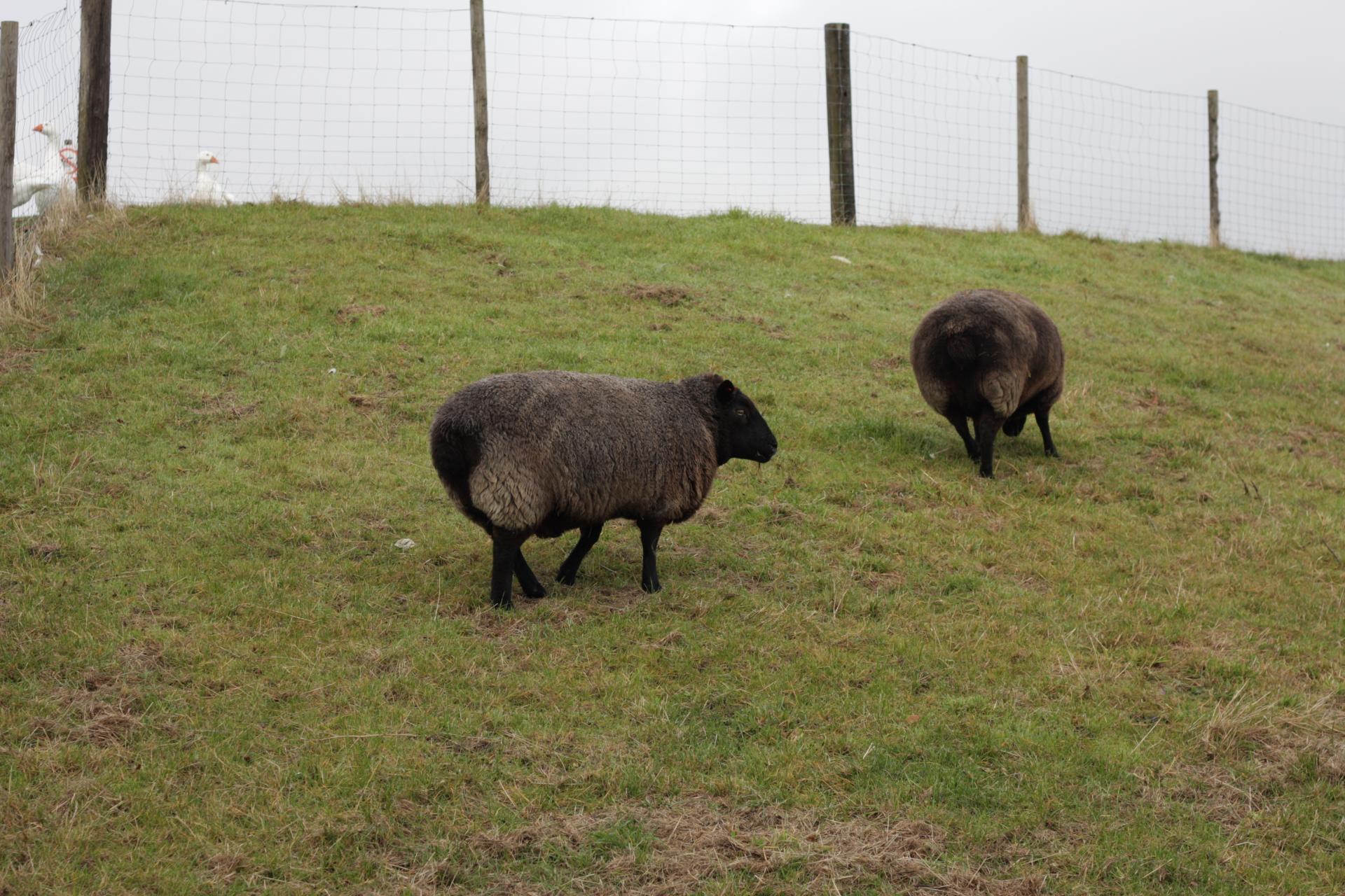 μαύρο πρόβατο
