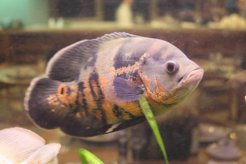 ψάρι γυάλα