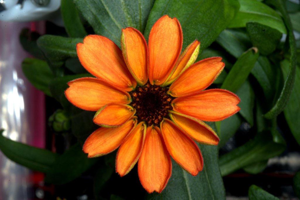 Orange_Zinnia