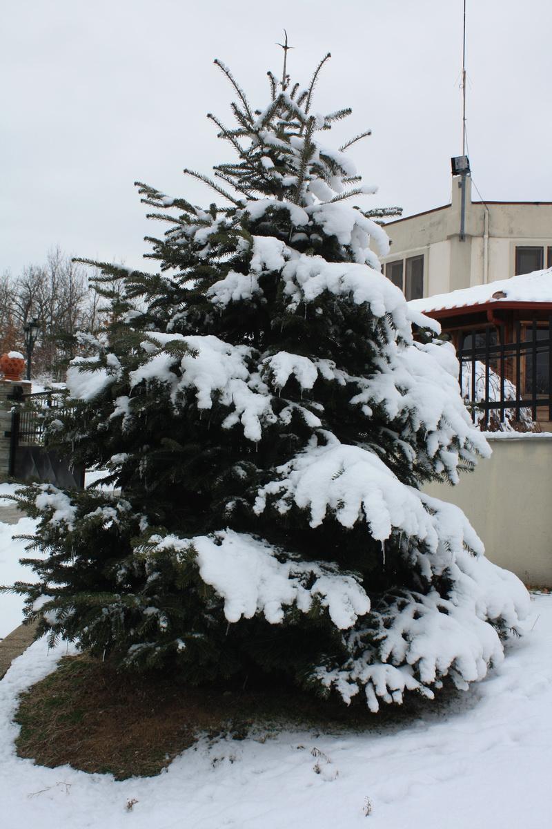 IMG_9875 χιονισμένο έλατο_resize