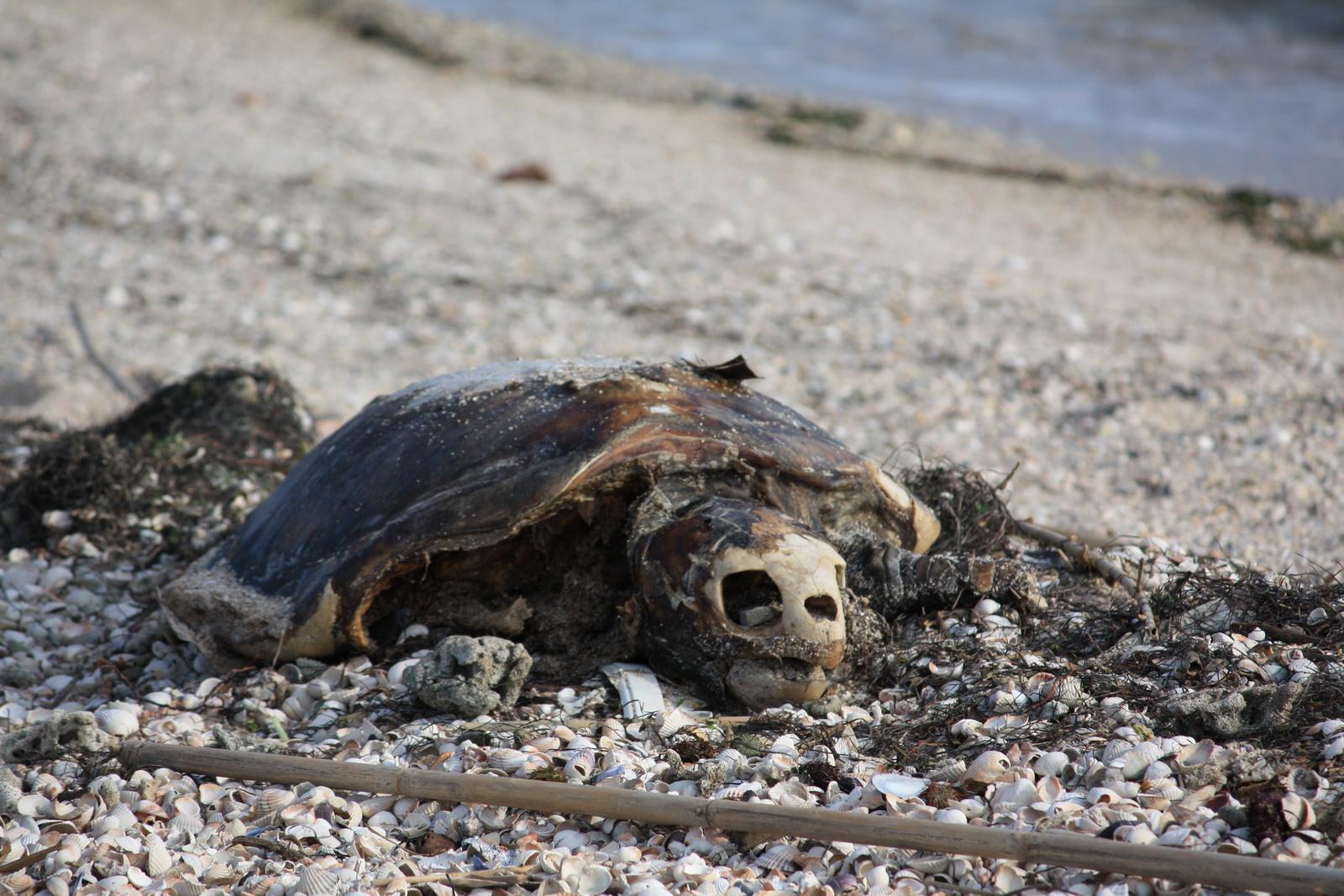IMG_7468 Νεκρή χελώνα_resize