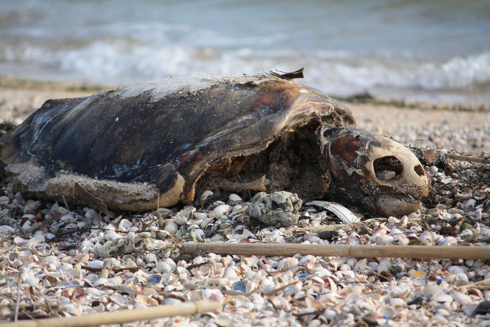 IMG_7469 Νεκρή χελώνα_resize